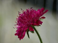 Beemdkroon / Knauti Macedonia (evert-j) Tags: flowers summer fleurs garden blumen zomer tuin bloemen beemdkroon knautiamacedonia wonderfulworldofflowers