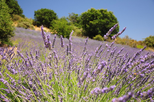 But the lavender has just started its riotous bloom