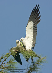 Swallow Tailed Kite feeding Iguana 4116 (floridanaturephotography) Tags: kite pine wings florida reptile raptor iguana swallowtailkite swallowtailed elanoides forficatus swallowtailedkite elanoidesforficatus specanimal floridanaturephotography austrailianpine falcoforficatus