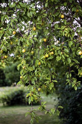 mirabelle tree 3468 R