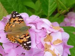 Saville Garden (Boatdeck) Tags: butterfly paintedlady savillegarden