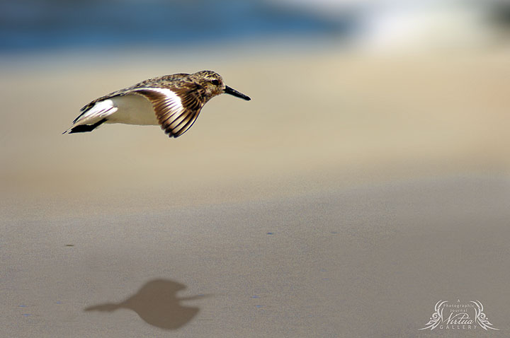 Least Sandpiper in flight