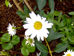 Shasta Daisy (e.joseph217) Tags: white flower tree green daisies garden spring gardening grow growth daisy thumb growing recycle horticulture hugger