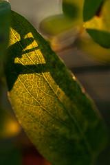 tolv (Tant Grön) Tags: makro sommar piteå pite kväll kvll bäckgatan bckgatan