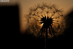 Dandelion Sunset (jeff_golden) Tags: houses sunset macro golden backyard dandelion explore kenko explored 1755f28is photoaday2009