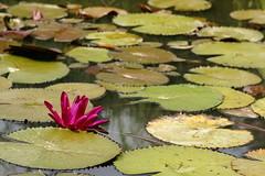 Water lily (ddsnet) Tags: plant flower water waterlily lily sony hsinchu taiwan aquatic   aquaticplants 900         sinpu hsinpu  lily water  tetragona water     900 lily nymphaeatetragona     nymphaea plants nymphaeatetragon aquatic nymphaea tetragona plantsnymphaea tetragona