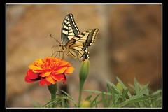 MARIPOSA 4 (pamendi1) Tags: flor mariposa naranja andoain pamendi