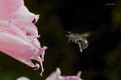 Bumble Bee (Cory Dalva) Tags: pink flowers flower macro nature nikon bee bumblebee bumble 105mm d90