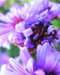 freshly permed (Darwin Bell) Tags: sanfrancisco flower macro flora dof purple curls perm naturesfinest