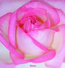 ROSA 62 (VRNU) Tags: rosas score1to4on29 vrnu misfavoritosinvitacin floresporlapaz andromeda50 mygearandme myge