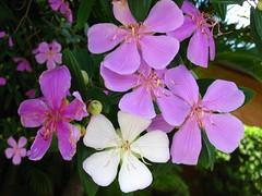 Lils (ceci poli) Tags: flores verde primavera branco spring natureza dia beleza roxo calor belo lilas ciclo