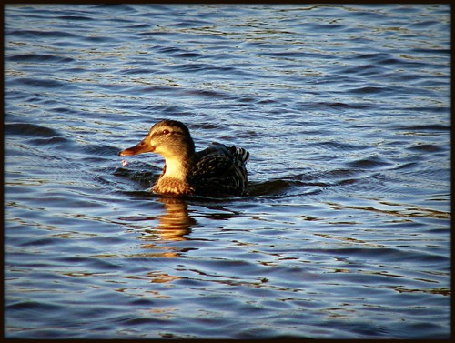 Duck on lake