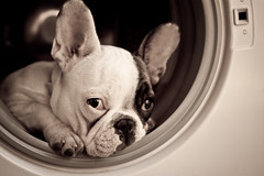 Im Shy... (Aura_86) Tags: dog black puppy bulldog perro frenchbulldog washingmachine kika perra lavadora bulldogfrancs