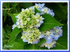 Hydrangea macrophylla 'Endless Summer' (Bigleaf/Mophead Hydrangea)