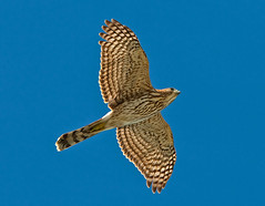 Coopers Hawk, Hawk Migration, Long Key, Florida Keys  Linda's Photo (kevansunderland) Tags: birds hawk raptor falcon birdsinflight migration floridakeys coopershawk birdphotography longkey floridabirds avianexcellence curryhammock