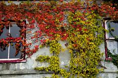 Wilde wingerd (de_buurman) Tags: autumn fall netherlands herfst panasonic parthenocissus wildewingerd klimplant allrightsreserved lumixdmcfz50 debuurman edjansen koudekerkaandenrijn