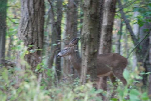 Shenandoah Deer