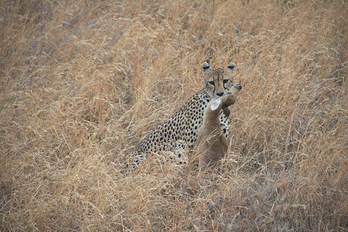 Cheetah with young Bohor Reedbuck kill - Serengeti National Park, Tanzania
