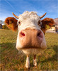 Kiss me! (pascalbovet.com) Tags: switzerland cow kiss bull wallis kissme