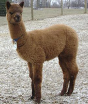 KB Alpacas huacaya fiber Vanilla Bean camelid
