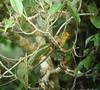 Metopothrix aurantiacaSAC09b- DFL (barbetboy) Tags: furnariidae fbwnewbird fbwadded metopothrixaurantiaca metopothrixaurantiacus orangefrontedplushcrown