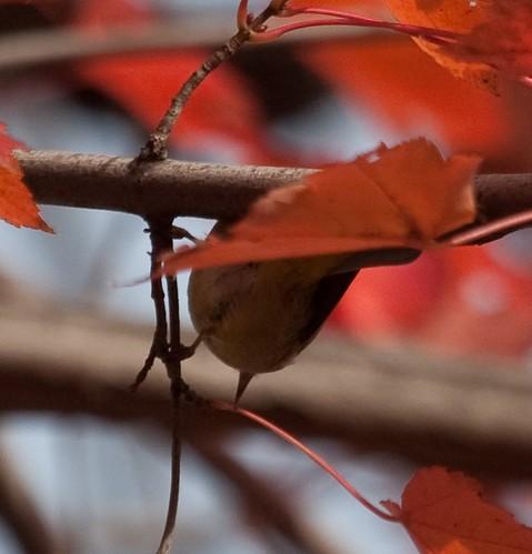 Orange-crowned