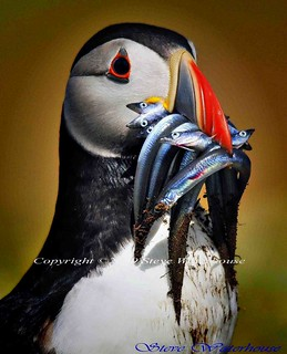 PUFFIN WITH SANDEELS # 20