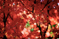 sg (Radarie) Tags: red tree fall nature leaves maple bokeh japanesemaple