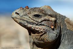 Rhinoceros Iguana (Cyclura cornuta) (Hispanioland) Tags: potofgold