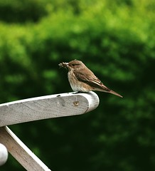 Little Flycatcher in the Meath Afternoon