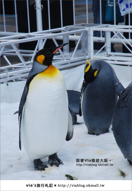 【via關西冬遊記】大阪海遊館~冬季限定!無敵可愛企鵝遊行來囉!5