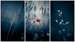 Silencio azul (una cierta mirada) Tags: blue red flower triptych dof bokeh poppy grasses