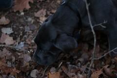20170218175134_IMG_3837 (arielandrew) Tags: woods outdoor adventure glen lyon glenlyon dog animal italian mastiff puppy 50mm canon rebel t6i