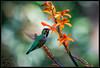 (K-Szok-Photography) Tags: upland uplandcalifornia socal sbcusa inlandempire california canon canondslr canon50d 50d bokeh birds hummingbird flowers flowercolors flower kenszok kszokphotography