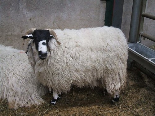 Kendal Rough Fell sheep