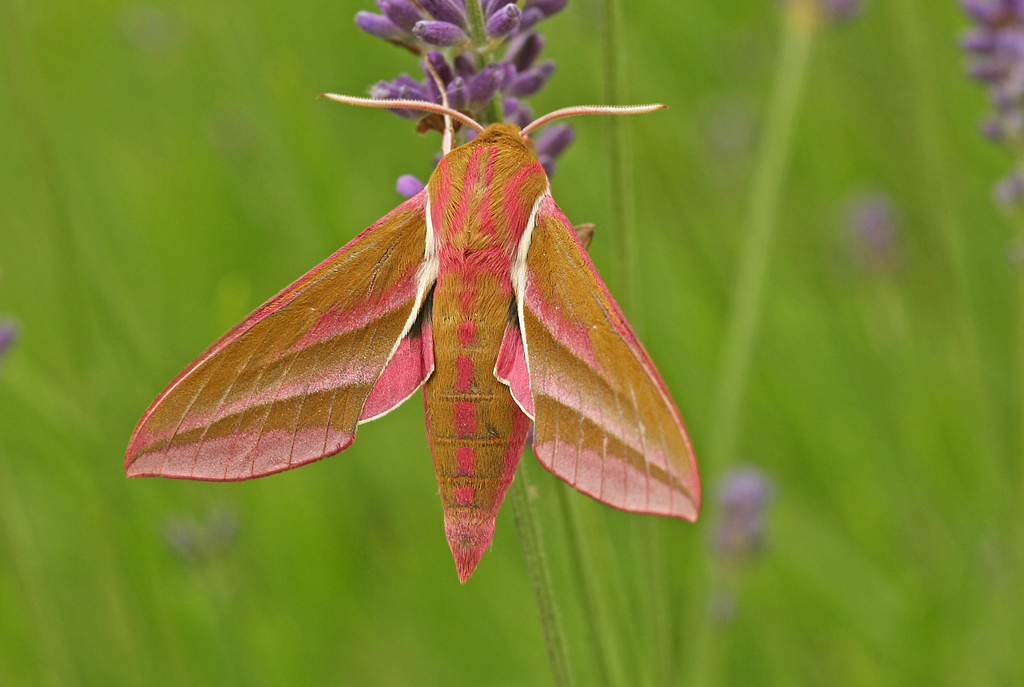 groot avondrood, elephant hawk-moth, Deilephila elpenor