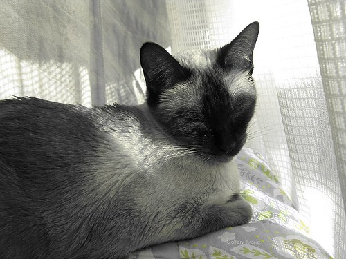 Sputnik, my siamese cat