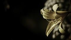 The golden flower (Henning_Christensen) Tags: flower awesome blomst awesomeness larvik grimstad henningchristensen larviktoppen morvigsanden