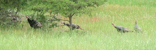 wild turkeys2