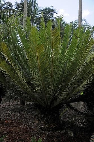encephalartos tegulaneus