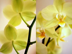 fronte   retro (*FRAnCeScA*) Tags: flower verde green yellow back diptych front retro giallo fiori orchidee pure fronte dittico candore