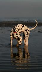 Lost something? (Emma Scott) Tags: sea dog reflection beach water dusk ripple paddle spot dalmatian