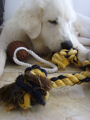 New Toys 3 (PolothePup) Tags: dog puppy great polo pyrenees greatpyrenees