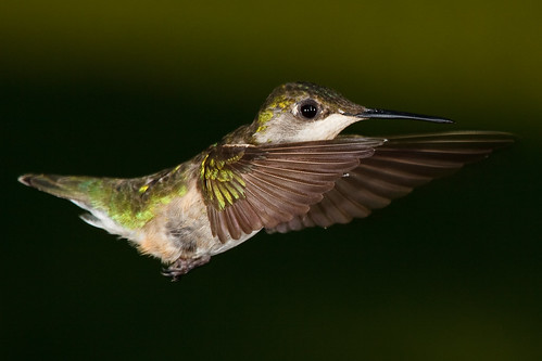 Ruby-throated hummingbird, Copyright Jason Paluck