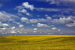Safflower Fields (jdmuth) Tags: northdakota safflower