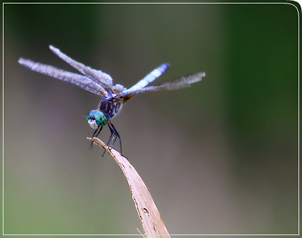 dragonfly_cominginforlanding04