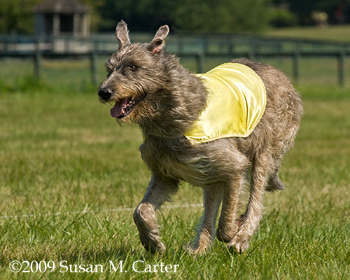 Coursing Wolfhound