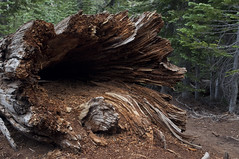 Fallen Tree (Emerald Bay, California, United States) Photo
