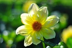 "Dahlia ("""" Arun) Tags: new flowers winter sunset red summer vacation sky usa white holiday snow flower macro green nature fun nikon spokane arun wasington d90 dahliaflower nikond90"