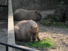 Capybara (CapybaraJP) Tags: zoo tokyo   capybara
